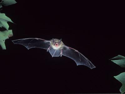 A Little Brown Bat in Flight Echolocating at Night, Myotis Lucifugus, North America by Joe McDonald