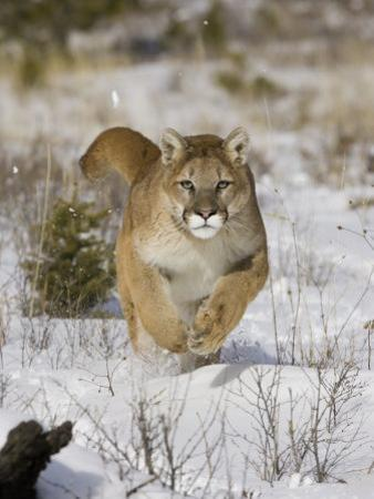 A Puma, Cougar or Mountain Lion, Running Through the Snow, Felis Concolor, North America by Joe McDonald