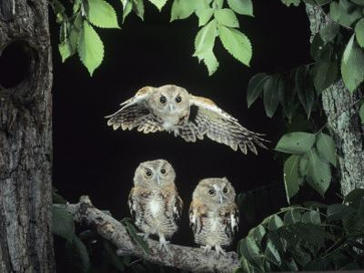 A Screech Owl in Flight, Otus Asio by Joe McDonald