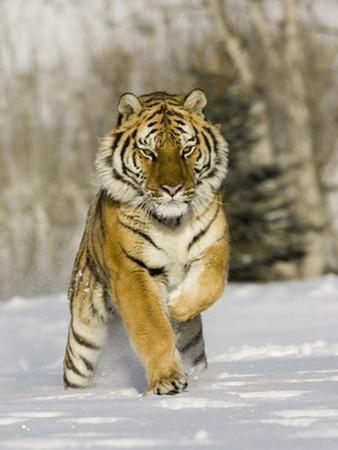 A Siberian Tiger Running in the Snow (Panthera Tigris Altaica), an Endangered Species by Joe McDonald
