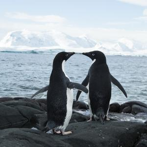Adelie Penguin by Joe McDonald