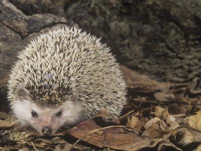 African Hedgehog, Atelerix Albiventris, East Africa by Joe McDonald