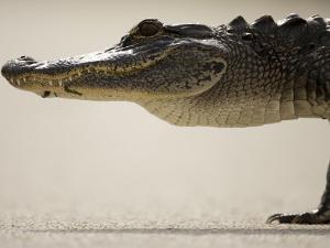 American Alligator, Everglades National Park, Florida, USA by Joe McDonald