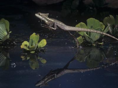 Basilisk Lizard, Basiliscus Basiliscus, Running on Water