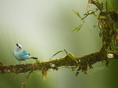 Blue-Gray Tanager (Thraupis Episcopus), Arenal Volcano, Costa Rica by Joe McDonald