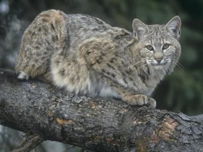 Bobcat, Lynx Rufus, North America by Joe McDonald