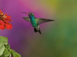 Broad-Billed Hummingbird Hovering at a Flower, Cynanthus Latirostris, Western North America by Joe McDonald