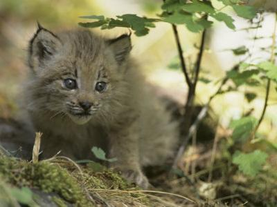 Canada Lynx Kitten, Lynx Canadensis, North America by Joe McDonald