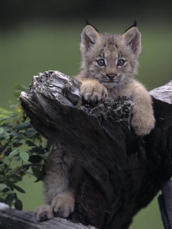 Canadian Lynx Kitten, Lynx Canadensis, North America by Joe McDonald