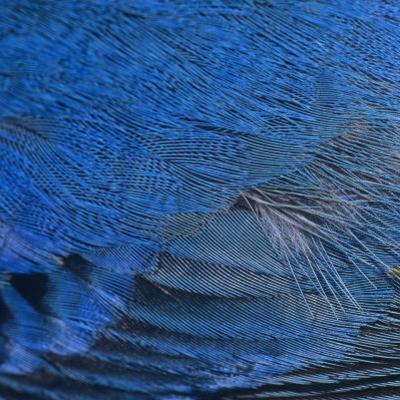 Close-Up of Male Indigo Bunting Feathers, Passerina Cyanea, North America by Joe McDonald