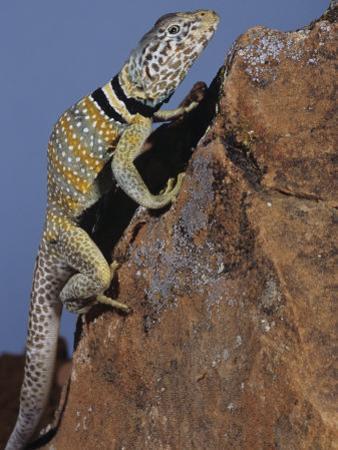 Collared Lizard, Crotaphytus Collaris, California, USA by Joe McDonald