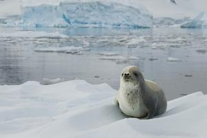 Crabeater Seal on Ice by Joe McDonald