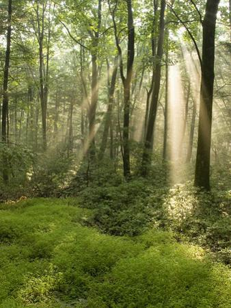 Deciduous Forest with Rays of Sunlight, Bald Eagle State Park, Pennsylvania, USA by Joe McDonald
