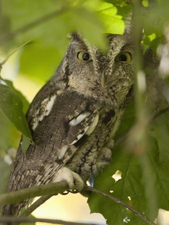 Eastern Screech Owl (Megascops Asio) Sitting on a Tree Branch, Eastern USA by Joe McDonald