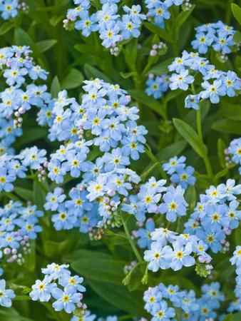 Forget-Me-Not Flowers (Myosotis Alpestris), Alaska State Flower by Joe McDonald