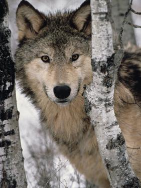 Gray Wolf, Canis Lupus, Staring from Behind the Trees, North America by Joe McDonald