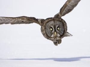 Great Gray Owl Hunting Over Snow by Joe McDonald