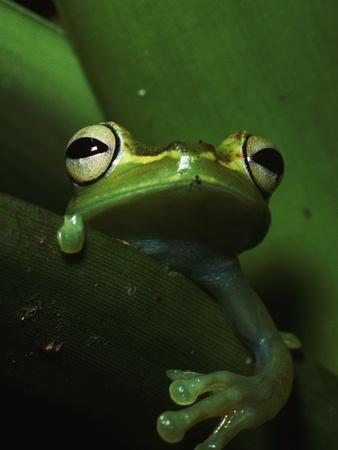 Green Tree Frog in Green Leaves