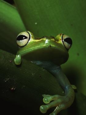 Green Tree Frog in Green Leaves by Joe McDonald