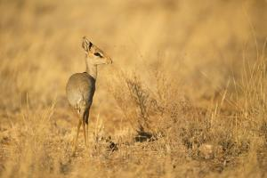 Gunther's Dik-Dik by Joe McDonald