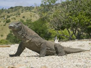 komodo dragon varanus komodoensis indonesiajoe mcdonald