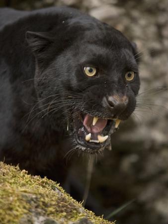 Leopard or Black Panther (Panthera Pardus) by Joe McDonald