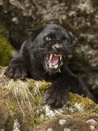 Leopard or Black Panther Snarling (Panthera Pardus) by Joe McDonald