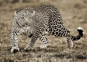 Leopard by Joe McDonald