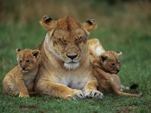 Lioness Resting with Cubs by Joe McDonald