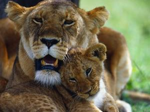 Lioness with Cub by Joe McDonald