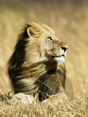 Male African Lion, Panthera Leo, Resting in Savanna Grasses, Masai Mara Game Reserve, Kenya, Africa by Joe McDonald