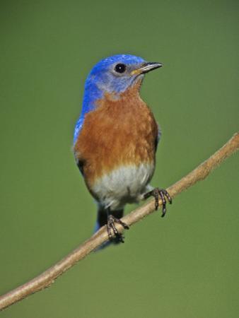Male Eastern Bluebird, Sialia Sialis, North America. Missouri State Bird by Joe McDonald