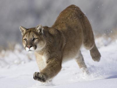 Puma (Puma Concolor) Running Through Snow in Montana, USA by Joe McDonald