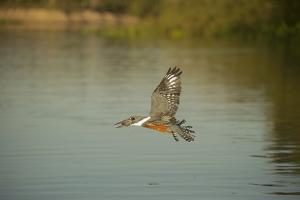 Ringed Kingfisher by Joe McDonald