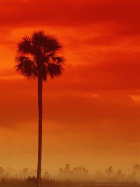 Royal Palm in Everglades by Joe McDonald