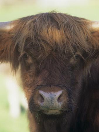 Scottish Highland Cattle Face by Joe McDonald