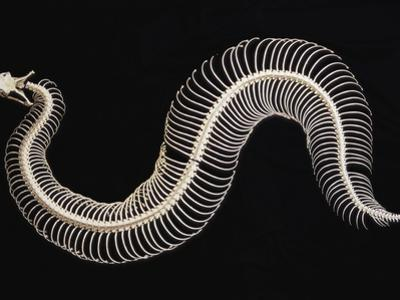 Skeleton of Gaboon Viper in Central Africa by Joe McDonald