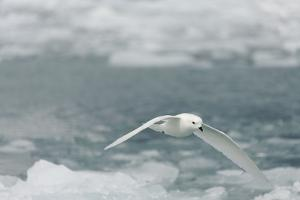 Snow Petrel by Joe McDonald