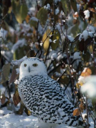 Snowy Owl (Nyctea Scandiaca), Canada by Joe McDonald
