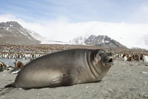 Southern Elephant Seal by Joe McDonald