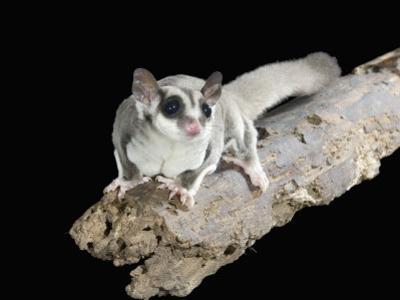 Sugar Glider, Petaurus Breviceps, a Marsupial Mammal from Australia by Joe McDonald