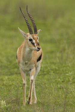 Thompson's Gazelle by Joe McDonald