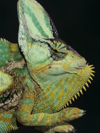 Veiled Chameleon, Chameleo Calaptractus, Yemen by Joe McDonald