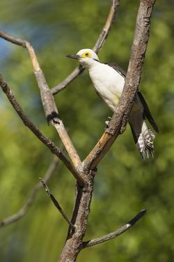 White Woodpecker by Joe McDonald