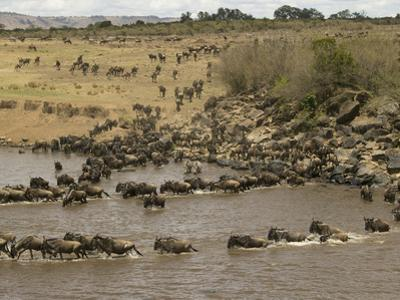 Wildebeest (Connochaetes Taurinus) During River Crossing in the Masai Mara Game Reserve, Kenya by Joe McDonald