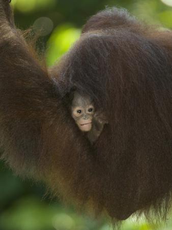 Young Orangutan Cuddled in the Fur of a Parent (Pongo Pygmaeus) by Joe McDonald