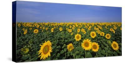 A field of sunflowers. by Joe Petersburger