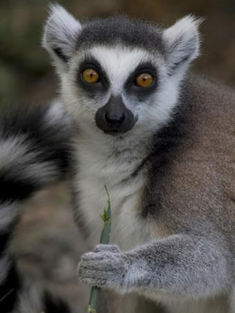 A Ring-Tailed Lemur, Lemur Catta, Eating by Joe Petersburger
