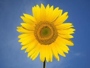 A Sunflower Against a Blue Sky by Joe Petersburger