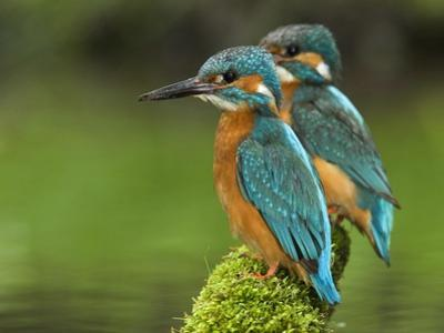 Adult Common Kingfisher Couple, Alcedo Atthis, on a Mossy Branch by Joe Petersburger